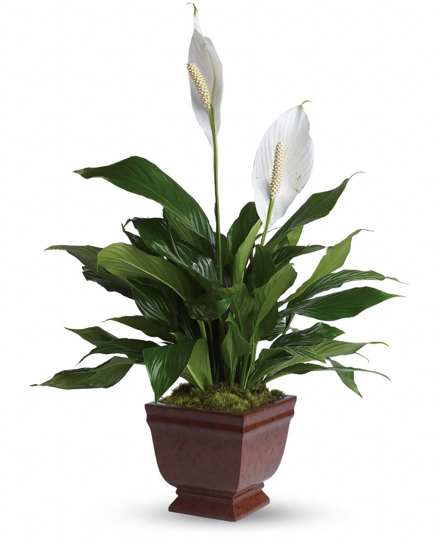 Herbology the peace lily jacklyn nicol - White flowering house plants ...